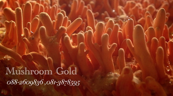 MushroomGold