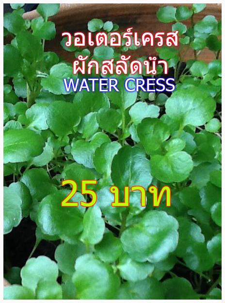 สลัดน้ำ เวอเตอร์เครส(100เมล็ด)