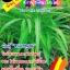เมล็ดพันธุ์ผักบุ้งจีน(ใบไผ่ ซองเล็ก) thumbnail 1
