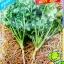 เมล็ดพันธุ์ผักชี 10กรัม(870เมล็ด) thumbnail 1