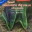 สลัดคอส สีม่วง (ประมาน300 เมล็ด) thumbnail 1