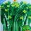กวางตุ้งดอกฮ่องกง(ต้นอวบใหญ่) 10กรัม(3500เมล็ด) thumbnail 1