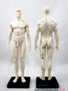 [ผู้ชาย] แบบจำลองร่างกายมนุษย์สูง30เซน (สีขาว)