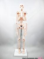 โครงกระดูกมนุษย์ขยับข้อต่อได้ สูง 45 cm